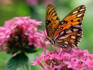 butterfly_on_a_pink_flower_wallpaper_butterflies_animals_wallpaper_1280_960_404[1]